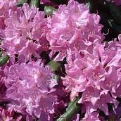 Rhododendron til haven