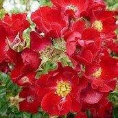 Roser til haven